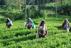Rondreis Sri Lanka theeplantage